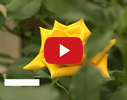 Florinda, ziedu salons video