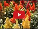Grobiņas ziedi, IU, dārzniecība video