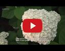 Ilmāra Zirņa Hortenziju dārzs video