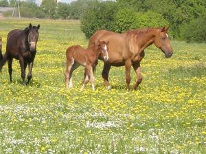 Ivetas zirgi