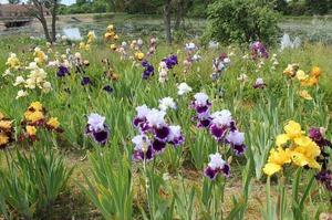 Laimoņa Zaķa īrisu un gladiolu dārzs