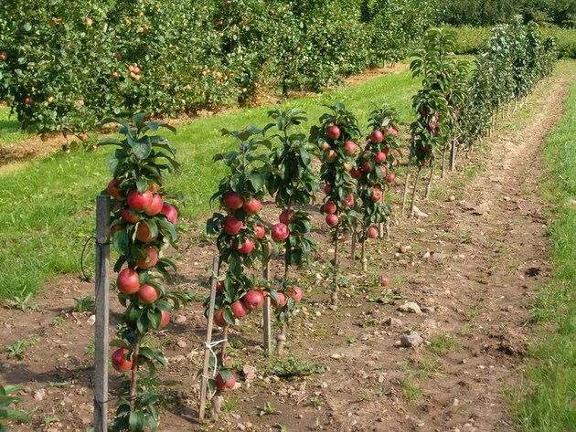 کاشت سیب