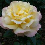 rozes1.jpg