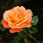 rozes3.jpg
