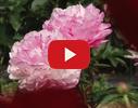 """Peoniju dārzs """"Ziedoņi"""", stādaudzētava video"""