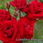 lubecker-rotspon.jpg