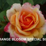 orange-blossom-special.jpg