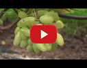Vīnogu stādi video