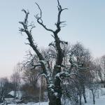 Latvijā dižākā Meža bumbiere atrodas Kandavā. Foto: Daiga Rēdmane